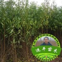 河南桃树苗 新品种桃苗 嫁接成品苗 桃树实生苗 实生桃树苗