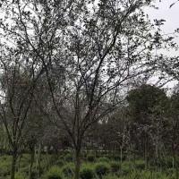 垂丝海棠基地