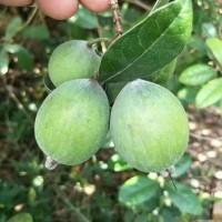 香菲果种植技术与管理,香菲果苗批发价格,香菲果基地