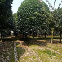 桂花树8-20公分