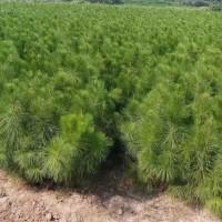 湖南湘乡市1-3年生湿地松供应_货源充足-美洋洋绿化