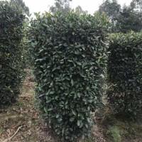 四川精品高1.7米红叶石楠价格350元,量大从优。