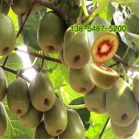 红心猕猴桃苗-软枣猕猴桃苗-软枣猕猴桃苗价格
