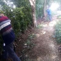 宁波冬青树种植