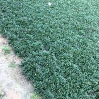 宁波矮麦冬种植  宁波绿化日本麦冬