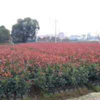 红叶石楠价格 湖南红叶石楠大杯苗 小杯苗种植基地 货好选择多