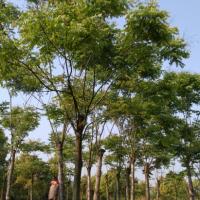 栾树 湖北12-30公分黄山栾树种植基地