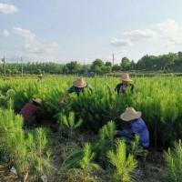津市市湿地松苗供应_优质湿地松-随州希望苗圃