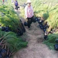 湖南沅江市供应1-3年生湿地松苗_优质好苗-美洋洋绿化
