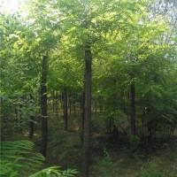 保定博野苗圃5—20公分刺槐
