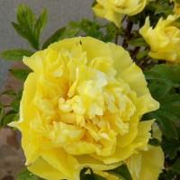 室内盆栽观赏牡丹花、催花牡丹