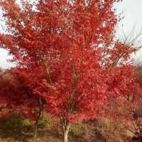 供应造型精美红枫