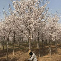 出售10--18公分精品高杆染井吉野樱花