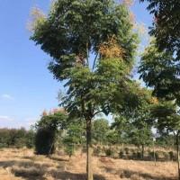 四川精品优质米径20公分栾树价格1100元量大从优欢迎电询