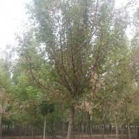 出售8-15公分精品复叶槭