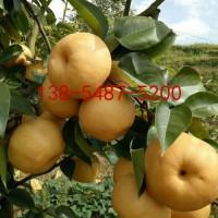 供应2公分3公分4公分5公分规格梨树苗