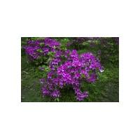 宁波杜鹃花种植 紫鹃种植