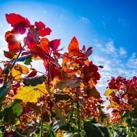 面向全国供应冠红杨各种规格树苗
