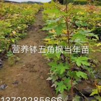 营养钵五角枫小苗当年苗