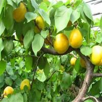 出售嫁接杏树苗2公分-3公分-4公分杏树规格齐全