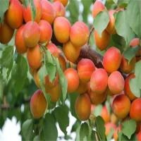直销2公分3公分4公分珍珠油杏树规格齐全