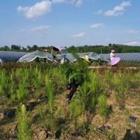 随州湿地松苗供应_优质湿地松-随州希望苗圃