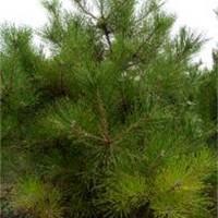 山西油松树苗、批发油松树苗、1米到3米油松树苗