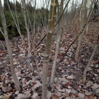 供应嫁接薄皮核桃树苗,挂果占地大核桃树
