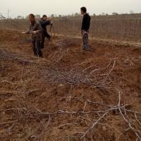 山西枣树苗品种、嫁接枣树苗批发、供应枣树苗
