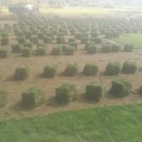 福州附近草皮草坪.福建草皮种植基地.福州长乐草皮种植基地