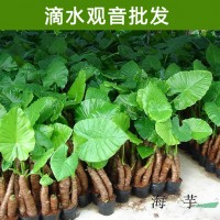 滴水观音盆栽霸王芋包邮/海芋大型大叶观赏植物/水培土培绿植