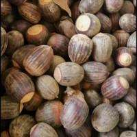 绿化树木供应舒玛栎种子 批发 基地直销