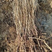 山西钙果树苗、1年和2年钙果树苗、药用钙果苗