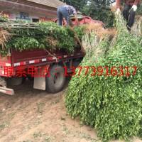 大型木槿小苗种植基地大量销售中
