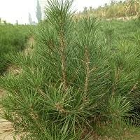 供应白皮松树苗、营养钵白皮松、50-1米白皮松