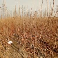 山西樱桃苗、山西嫁接樱桃树苗、山西樱桃树苗品种