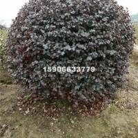 杭州供应高度150蓬型150红花檵...