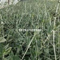 宿迁批发供应水果兰 灌从石蚕 水果...