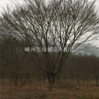 绍兴15—-23 公分鸡爪槭