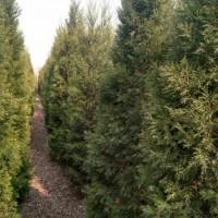 山东德州山东蜀桧种植基地
