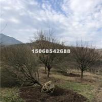 绍兴出售精品鸡爪槭,嵊州鸡爪槭基地...