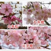 宿迁江苏宿迁供应优质大渔樱小苗,江...