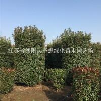 宿迁供应1.5-2.5米红叶石楠柱