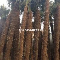 宿迁棕榈,棕榈小苗,棕榈工程苗,精...