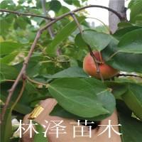 山东泰安晚红杏树苗价格【十年管理经验】