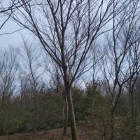 江苏南京近期15公分18公分榉树价格信息公布