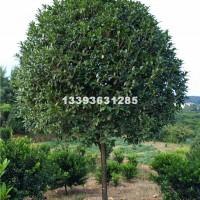 桂林供应桂花树10-12公分树形好...