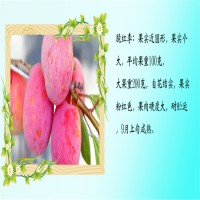 山东泰安味帝李子树苗栽培方法【多年种植经验】