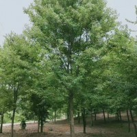 安徽合肥三角枫15公分价格  三角枫8公分价格
