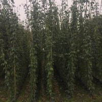 四川成都成都大量出售油麻藤,种植杯苗油麻藤价格